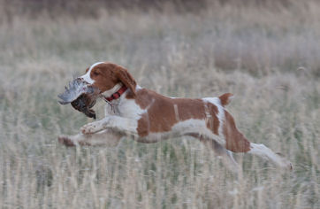 Rye fetching as a pup